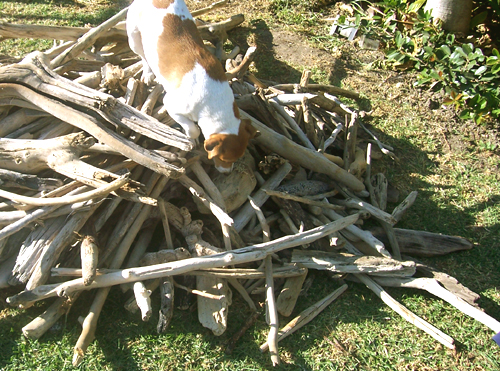 dog and pile of driftwood